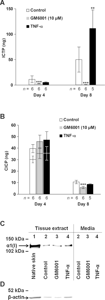 Effect of TNF-α and GM6001 on type I collagen turnover assessed by the biochemical markers of degradation ICTP (A), neosynthesis CICP (B) and type I collagen formation (C and D). (A and B) Media from five explants per donor were pooled and then analyzed. CICP levels after ultrafiltration of day-4 samples are indicated by lower bars (B). Mean ± SEM. **p < 0.01, ***p < 0.005 versus control at respective time point. (C and D) Western blot analysis for the α1 chain of type I collagen and β-actin of pooled concentrated (Amicon® Ultra; Millipore) CNTZ tissue extracts (C and D) and conditioned media (C) from 30 individual 8-mm skin explants (5 explants from each of the 6 donors). (C) Loading of tissue extracts was normalized to the β-actin content determined separately (D) and media were adjusted to the corresponding volume to biopsy weight ratio. Lane 1, native skin; 2, control; 3, GM6001 (10 μM); 4, TNF-α. (D) Equal volume (12.5 μl) of the tissue extracts was applied to each well.