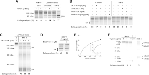 Digestion of native type I collagen by tissue-derived proteinases of native human skin (A), control (A and B) and TNF-α-treated human skin (A–C), active rhMMP-1 (D–F) or trypsin (F). (A–C) Tissue extract pools from 30 individual 8-mm skin explants (5 explants from each of the 6 donors) per group were concentrated 3× (Amicon® Ultra; Millipore). S, substrate. (B–D) Enzymes were incubated for 2 h with inhibitors before the substrate was added. (D) rhMMP-1 was incubated with substrate in the absence or presence of UK370106. (A–D, F) Collagenolytic activity in percentage of type I collagen degradation is shown below each lane. (E) Effect of rhMMP-1 on collagenolysis as a function of concentration and time of incubation (inset, 1 ng/ml). (F) Trypsin (Worthington, Lakewood, NJ, USA) treatment of native or denatured (56 °C, 30 min) substrate was carried out at identical assay conditions. rhMMP-1, 2.5 ng/ml. *, position of trypsin. D, denatured.
