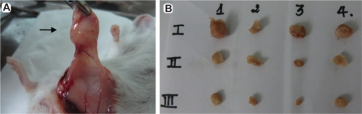 Tumor mass harvested from mice on day 15. After sacrificing mice, tumors were collected by surgery.Notes: (A) Tumor from one mouse of control group where DCs were intravenously primed with MSC antigens (MSC-DC). (B) Tumors from all groups. Line I is from DCs intravenously primed with MSC antigens (MSC-DC), line II is from the control (RPMI 1640), line III is from DCs intravenously primed with BCSC antigen (BCSC-DC). The arrow indicates a tumor.Abbreviations: BCSC, breast cancer stem cells; DC, dendritic cells; MSC, mesenchymal stem cells.