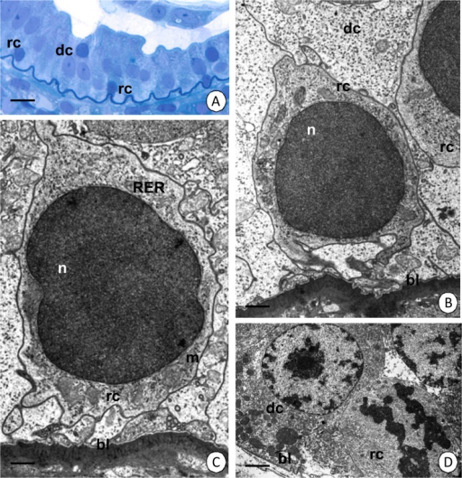 Regenerative cells in the intestine of N. heteropoda.(A-C) Regenerative cells (rc) situated between the basal regions of the digestive cells (dc). (A) Light microscopy. Bar = 12 µm. (B) TEM. Bar = 0.76 µm. (C) The cytoplasm of the regenerative cells (rc) poor in organelles. TEM. Bar = 0.6 µm. (D) Dividing regenerative cell (rc), digestive cell (dc). TEM. Bar = 3 µm. Nucleus (n), basal lamina (bl), mitochondria (m), cisterns of the rough endoplasmic reticulum (RER).