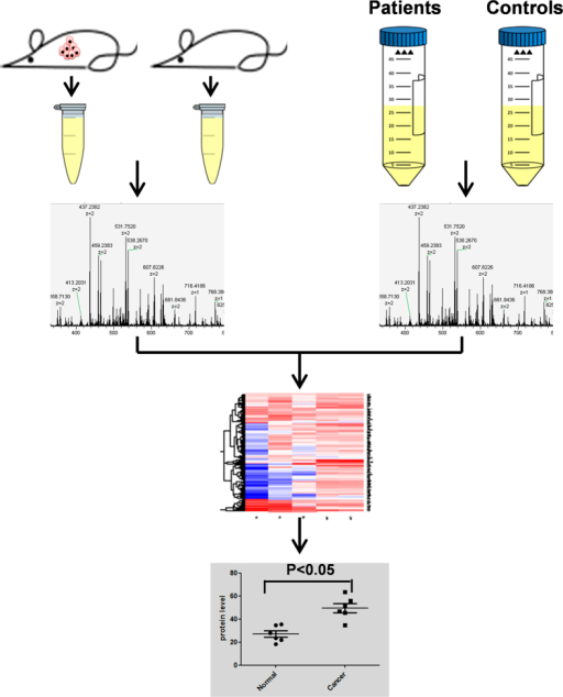 Schematic diagram of the experimental design.Urine samples from paired control and tumor-bearing mice and paired lung cancer patients/healthy controls were subjected to LC-MS analysis. Up-regulated protein candidates common to patients and tumor-bearing mice were identified. Western blotting and ELISA were used to validate the candidate proteins in an independent cohort of clinical samples.