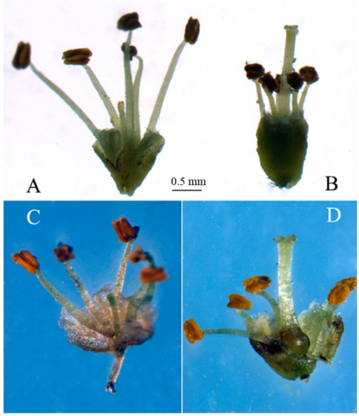 The male flower and hermaphrodite flower of T. sinensis, (A) and (C) are flowers from male individual; (B) and (D) are bisexual flowers from hermaphrodite individual. Anatomical images (C,D) are the difference between male and hermaphrodite flowers about pistils. Picture (C) shows degenerated pistil, picture (D) shows well-developed pistil.