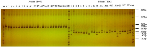 The results of the SSR-PCR that produced clear bands. M refers to DNA markers pBR322 DNA/MspI. Numbers 1 to 24 represent twenty-four individuals of T. sinensis. The products of primer TS061 are single bands without polymorphism, while those of TS062 are clear polymorphic bands.