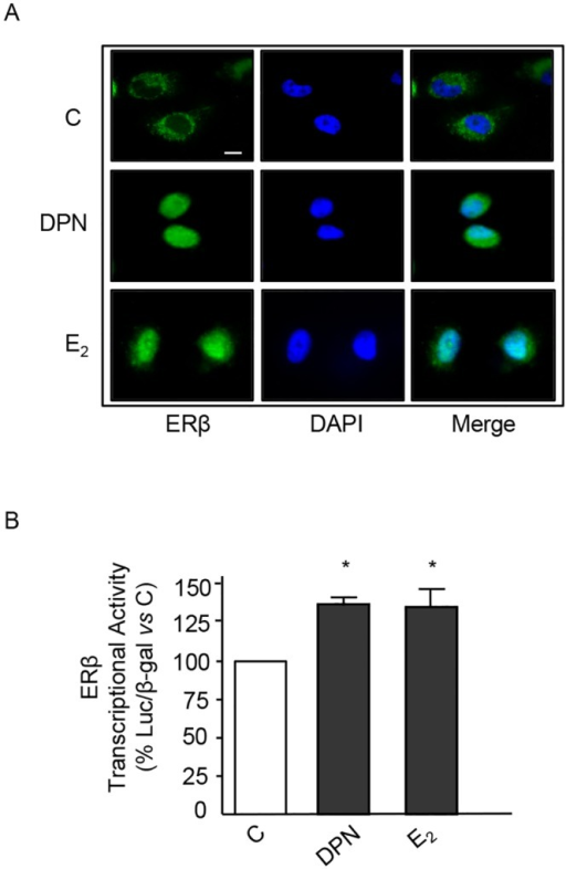 ERβ ligands trigger cytoplasmic-to-nuclear translocation of ERβ and induce its transcriptional acitivity in BLM melanoma cells.(A) Immunofluorescence assay of ERβ intracellular localization. In control BLM melanoma cells, ERβ is mainly localized at the cytoplasmic level. Treatment of the cells with either DPN or E2 (10−8 M, for 24 h) induces ERβ translocation into the nucleus. A representative picture from three experiments done independently, which gave the same results, is reported. (B) The transcriptional activity of the ERβ protein in BLM cells was analyzed using the pVERE-tk-LUC plasmid (cotransfected with pCMVβ). The results were normalized for β-galactosidase activity. Treatment of the cells with either DPN or E2 (10−8 M, for 24 h) significantly increased ERβ transcriptional activity. Each experimental group consisted of three replicates and each experiment was repeated three times. Data represent mean values ± SEM. *P<0.05. C, controls.