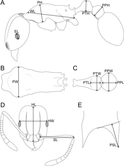 Schematic Line Drawings Of Tetramoriumcavernicola Sp N