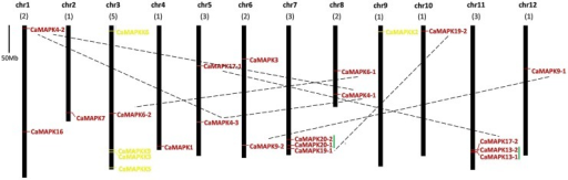 Positions of MAPK and MAPKK gene family members on pepper chromosomes. The chromosome number is indicated at the top of each chromosome representation. Paralogs are indicated by green line. Scale represents a 50 Mb chromosomal distance. The paired MAPK genes are marked with a broken line.