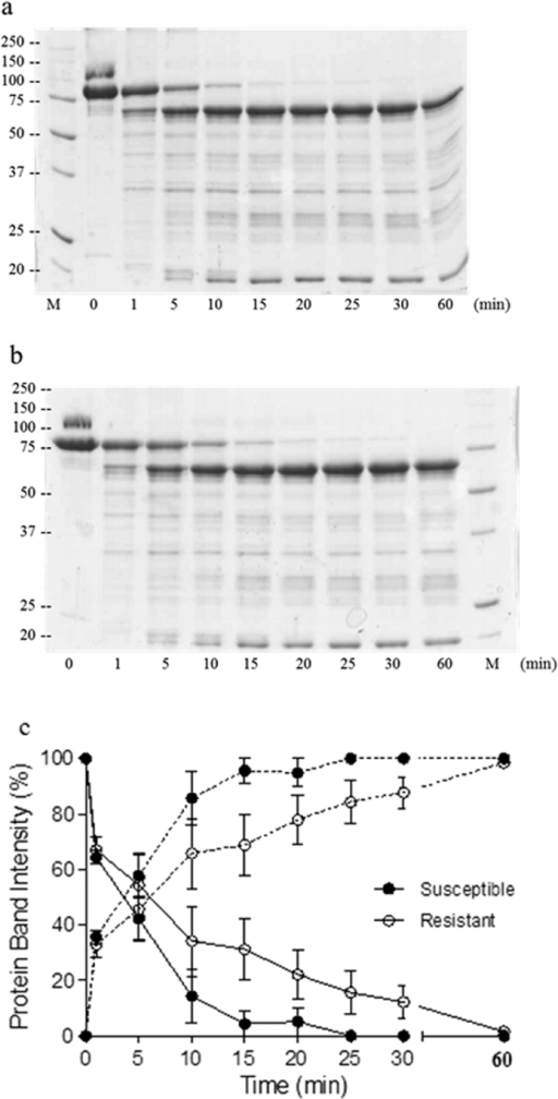 Kinetics of the proteolytic processing of Vip3Aa incubated with midgut juice from H. armigera larvae.Incubations were performed at 30 °C and 0.1% of midgut juice total protein referred to Vip3Aa protein. Samples from susceptible (a) and resistant (b) insects were subjected to SDS-PAGE at different time intervals and the bands of protoxin (89 kDa, solid lines) and activated protein (62 kDa, broken lines) were quantified by densitometry (c). GR (susceptible) (●) and SP85 (resistant) (○) colonies. Data points represent the mean of three replicates with the standard error indicated by error bars.