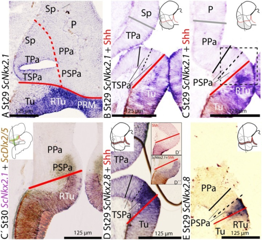 Regionalization of the alar hypothalamus and neighbor territories in embryos of S. canicula at stages 29–30 based on the expression of ScNkx2.1(A–C,D″) and ScNkx2.8(D,E) on sagittal (A) and transverse (B,E) sections. Some sections were labeled (D′) or double labeled for immunohistochemistry against Shh (B–D′). (C′) Detail of the squared regions in Figure (C). It results from the overlapping of two parallel sections hybridized with ScDlx2/5andScNkx2.1 probes, respectively. Color for ScDlx2/5 and ScNkx2.1 was digitally converted to brown and purple to ease comparison. (A–C)ScNkx2.1 expression at indicated stages. (D,E)ScNkx2.8 expression at indicated stages. Note that Shh immunoreactivity does not reach the ABB (D′,D″). For other labels, see legend Figure 1. For abbreviations, see list.
