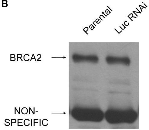 BRCA2 heterozygosity mimicked through RNA interference in HT-29 colon cells. (A) 25µg of lysates from parental, BRCA2 RNAi, and control RNAi cells were loaded on a SDS-10% polyacrylamide gel and a BRCA2 western blot was performed (top panel). Quantification of BRCA2 band intensities as a percent of the parental band is indicated. A non-specific band was utilized as a loading control in the experiment (middle panel). A lighter exposure of the non-specific band is shown (lower panel). (B) Western blot was performed as in (A), except lysates from parental HT-29 cells were compared to HT-29 cells stably infected with a shRNA construct targeting luciferase (Luc RNAi).