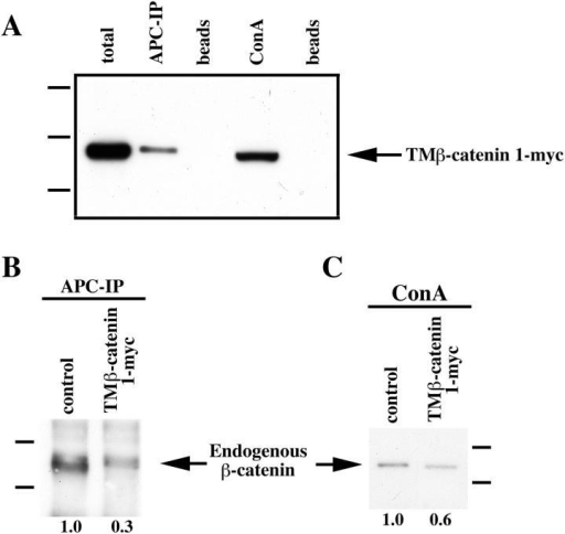 Ectopic TM–β-catenin competes with endogenous  β-catenin for binding to endogenous APC and a cadherin fraction. (A) Protein extracted from embryos injected with 1.25 ng of  TM–β-catenin 1-myc RNA was subjected to APC immunoprecipitation (APC-IP) or ConA precipitation (ConA, represents cadherin-bound fraction) followed by immunoblotting with anti-myc  antibodies. Control lysates were incubated with beads alone  (beads). These experiments show that TM–β-catenin 1-myc binds  endogenous APC and is present in ConA-bound fractions, indicating an association with cadherin. (B) To determine the effect  of overexpression of TM–β-catenin 1-myc on the levels of endogenous β-catenin associated with APC, protein extracts from control embryos or embryos injected with 1.25 ng TM–β-catenin 1-myc  were subjected to immunoprecipitation with anti-APC antibodies  followed by immunoblotting with anti–β-catenin antibodies.  These analyses show that overexpression of TM–β-catenin 1-myc  causes a decrease relative to controls in the levels of endogenous  β-catenin associated with APC. (Relative levels of endogenous  β-catenin are shown below each lane with controls set to 1.0.) (C)  Changes in the levels of endogenous β-catenin associated with a  cadherin fraction were examined by preparing ConA precipitates  from protein extracts prepared from control or TM–β-catenin  1-myc RNA–injected embryos followed by immunoblotting with  anti–β-catenin antibodies. The levels of endogenous β-catenin  present in ConA fractions decreased to 0.6 of control levels, suggesting that ectopic TM–β-catenin competes with endogenous  β-catenin for binding to cadherin. (Relative levels of endogenous  β-catenin are shown below each lane.) Molecular mass markers  indicated in A are 198, 113, and 75 kD and those indicated in B  and C are 113 and 75 kD.