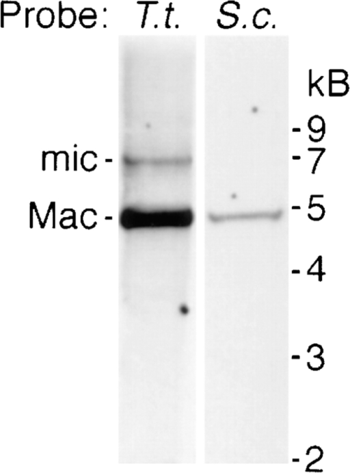 Low stringency Southern  blot of wild-type Tetrahymena genomic  DNA probed with Tetrahymena PGM1  cDNA (T.t.) or an S. cerevisiae PGM  gene GAL5 (S.c.). A single macronuclear fragment of 4.9 kB is seen using  both probes. The more sensitive PGM1  probe also detects a micronuclear allele  of ∼7 kB.