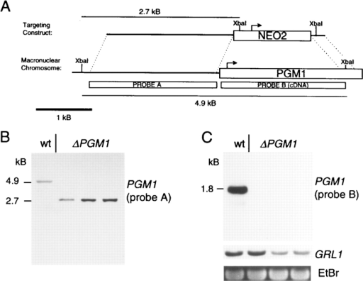 Genomic structure of PGM1 and Southern and Northern analysis of ΔPGM1 transformants. (A) neo2, which confers  paromomycin resistance in Tetrahymena (Gaertig et al., 1994;  Chilcoat et al., 1996), was used to replace the 5'-most 80% of the  PGM1 gene as shown. (B) Genomic DNA was prepared from  wild-type and ΔPGM1 transformants and digested with XbaI.  Southern blotting using a probe made from a region upstream of  the PGM1 gene (probe A) was performed as described in Materials and Methods. Successful targeting resulted in elimination of a  band at 4.9 kB, concurrent with the appearance of a band at 2.7 kB.  Upon overexposure, the ∼7 kB micronuclear allele could be seen  in all lanes. (C) Northern blotting was performed on total RNA  prepared from wild-type (wt) or ΔPGM1 strains using a PGM1  cDNA probe (probe B), and a probe derived from GRL1 cDNA  (Chilcoat et al., 1996). Ethidium bromide staining of rRNA is  also shown. ΔPGM1 cells contain normal levels of GRL1 transcript and total RNA, but have no detectable PGM1 transcript.