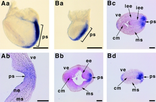 Abnormal primitive streak in afadin−/− embryos. E7.5 embryos were subjected to whole-mount in situ hybridization with the digoxigenin-labeled antisense RNA of T as a probe, sectioned, and counterstained with neutral red. (A) Wild-type embryos. (Aa) Lateral view; and (Ab) transverse section. (B) Afadin−/− embryos. (Ba) Lateral view; (Bb) transverse section of the proximal region; (Bc) transverse section of the middle region; and (Bd) transverse section of the distal region. ps, primitive streak; ve, visceral endoderm; ne, neuroepithelium; ms, mesoderm; ee, embryonic ectoderm; cm, cell mass; lee, lateral region of the embryonic ectoderm; and iee, invaginated embryonic ectoderm. Bars, 150 μm (Aa and Ba); and 30 μm (Ab and Bb–Bd).
