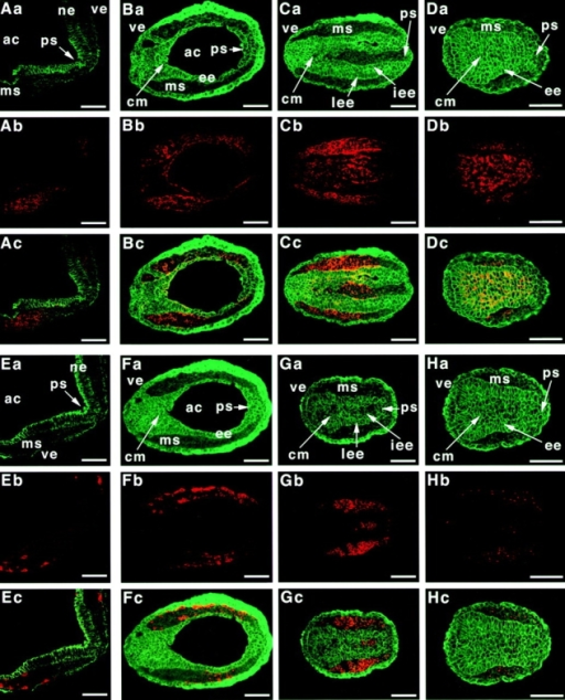 Disorganized ectoderm in afadin−/− embryos. Transverse sections of E7.5 embryos were doubly stained with the anti–E-cadherin antibody and the anti-PDGFRα or anti-Flk1 antibody for immunofluorescence microscopy. (A and E) Wild-type embryos; (B–D and F–H) afadin−/− embryos; (B and F) proximal region; (C and G) middle region; (D and H) distal region; (A–D) double staining with the anti–E-cadherin and anti-PDGFRα antibodies; (E–H) double staining with the anti–E-cadherin and anti-Flk1 antibodies. (Aa, Ba, Ca, Da, Ea, Fa, Ga, and Ha) E-cadherin; (Ab, Bb, Cb, and Db) PDGFRα; (Eb, Fb, Gb, and Hb) Flk1; and (Ac, Bc, Cc, Dc, Ec, Fc, Gc, and Hc) merge. ac, amniotic cavity; ms, mesoderm; ne, neuroepithelium; ve, visceral endoderm; ps, primitive streak; ee, embryonic ectoderm; cm, cell mass; lee, lateral region of the embryonic ectoderm; iee, invaginated embryonic ectoderm. Bars, 60 μm.