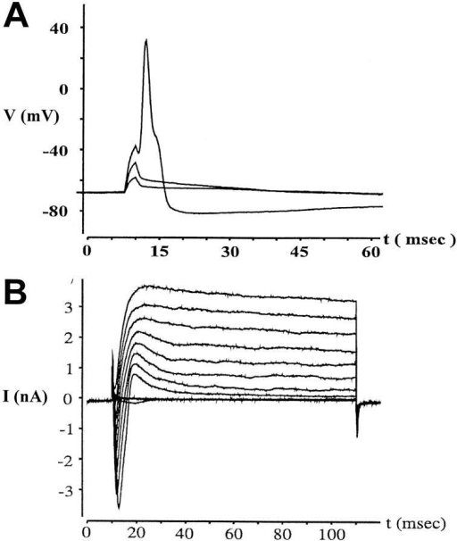 Identification of neurons by whole cell patch-clamp electrophysiology. (A) Action potentials were evoked in sensory neurons cultured for 7 d by current pulses of increasing amplitude (200, 300, and 400  pA) and were recorded in the current clamp mode. (B) Whole cell membrane currents were evoked by successive depolarization steps of 10 mV  (from a holding potential of −80 mV to voltages ranging from −50 to  +50 mV) and were recorded in the voltage clamp mode.