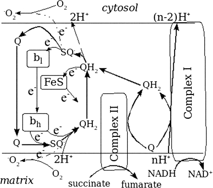 Scheme complex I to complex III segment of mitochondrial respiratory chain. Redox reactions in electron transport chain and proton translocation are fed by glycolysis and the Krebs cycle, which provide NADH, complex I substrate, and succinate, complex II substrate. Respiratory complex I accepts electrons from NADH, oxidizing it to NAD+, and delivers these electrons to ubiquinone (Q). This delivery is coupled with proton transport from matrix to cytosol. Proton transport in complex III is coupled with electron transport in accordance with the generally accepted ubiquinone/ubiquinol (Q/QH2) cycle mechanism, which is shown in more detail. The overall reaction performed by complex III is as follows, QH2 + 2Cyt Cox + 2H+n ↔ Q + 2Cyt Cred + 4H+p(i.e. it oxidizes ubiquinol, reducing cytochrome c and releasing two H+ to the cytosolic side (positive or p-side; this is reflected in the index of released H+)). In addition, it translocates two protons from matrix (negative or n-side) to cytosol. Ubiquinol (QH2) delivers its first electron to Fe3+, releasing two protons at the p-side of the inner mitochondrial membrane and producing semiquinone radical (SQ-). Then the latter gives its unpaired electron to cytochrome bl, and produced ubiquinone (Q) dissociates from the complex. Free Q binds at the n-side and receives two electrons from cytochrome bh, resulting from oxidation of two QH2 molecules, thus producing subsequently SQ- and QH2, taking protons from the n-side. Dissociation of the produced QH2 accomplishes a round of the cycle.