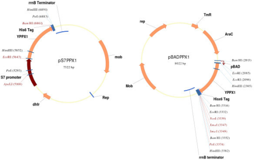 Broad-host range constitutive (pS7PPX1) and regulated (pBADPPX1) expression vector maps to obtain polyP deficient bacteria. Source of yeast DNA and primers used in plasmid construction were described in Methods. A detail description of pMLBAD and pMLS7 plasmids can be found in reference [22].