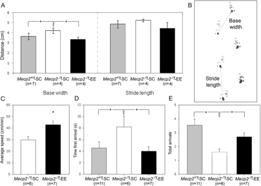 Environmental Enrichment improves neuromotor dysfunction in Mecp2−/y mice.A, Footprint analysis showed impaired walking patterns in Mecp2−/y-SC mice compared with Mecp2−/y-EE and Mecp2+/y−SC control animals. B, Measures taken for footprint analysis .C, Speed of movement (cm/s) was faster for Mecp2−/y-EE than Mecp2−/y-SC mice. D, Mecp2−/y-EE mice displayed improved motor coordination compared with Mecp2−/y-SC evidenced by a shorter time to reach the platform for the first time and E, higher number of arrivals to the platform in the elevated beam test. The total number of animals in each group is shown (n). Mean ± SEM values are presented. A two-way repeated measures ANOVA (genotype×condition) demonstrated differences in the mean values among the different levels of condition (F = 8.06; p = 0.007). Student's t test indicated that the Mecp2−/y-SC group was significantly different from the other two groups (*: p<0.05).