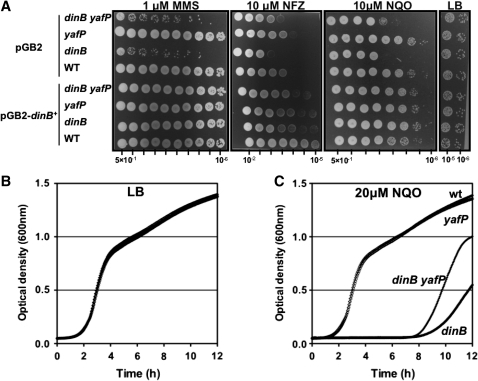 Sensitivity of dinB yafP operon mutants to different DNA damaging agents. (A) Sensitivity to 1 µM MMS, 10 µM NFZ and 10 µM NQO was estimated by spotting 7 µl of 5-fold serial dilutions of overnight cultures of the WT, dinB, yafP and dinB yafP strains onto LB plates containing DNA damaging agents. Strains carried the pGB2 plasmid or the pGB2 coding for the functional dinB gene. Experiments were repeated three times. Representative results are shown. (B and C) Effect of NQO on growth of WT, dinB, yafP and dinB yafP strains in liquid LB (B) or LB with 20 µM NQO (C). Experiments were repeated three times. Representative growth curves are shown.
