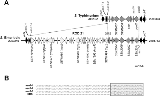 Schematic representation of ROD21 in the chromosome of S. Enteritidis.(A) Representation of the genetic location of the genes coding for the asparagine tRNA (asnT-1, -2 and -3) in the chromosome of S. Typhimurium and S. Enteritidis and the exact location of ROD21 in the chromosome of S. Enteritidis. Black and dark gray arrows represent those genes shared between both serovars and light gray arrows represent genes found only in ROD21 of S. Enteritidis. Numbers next to each scheme are coordinates in the chromosome of S. Typhimurium and S. Enteritidis. DRS stand for Direct Repeated Sequence (attR). (B) The alignments of DRS and asnT-1, asnT-2 (attL) and asnT-3 show that the DRS is identical to the last 22 bp of the asnT genes.
