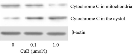 CuB induces the release of mitochondrial cytochrome C. A549 cells were treated with CuB (0, 0.1 and 1.0 μmol/l) for 24 h. Following isolation of the mitochondrial and cytosolic fractions, mitochondrial cytochrome C release was detected by western blot analysis. CuB, cucurbitacin B.