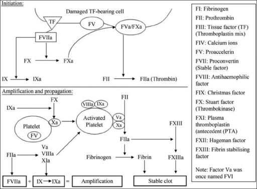 Cell-based model of coagulation. The Roman numerals represent coagulation factors (Reproduced from Andy NG Curry, JM Tom Pierce, Conventional and near-patient tests of coagulation, Contin Educ Anaesth Crit Care Pain, (2007) 7(2):45-50, by permission of Oxford University Press)