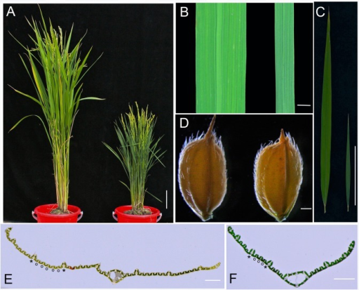 Phenotypes of nal1-2.(A) Morphology of wild-type (WT; Nipponbare, left) and nal1-2 (right) plants at the heading stage (bar = 5 cm). (B) Comparison of leaf width between the WT (left) and nal1-2 (right) (bar = 5 mm). (C) Comparison of leaf length between the WT (left) and nal1-2 (right) (bar = 5 cm). (D) Comparison of seed phenotype between the WT (left) and nal1-2 (right) (bar = 0.5 mm). (E, F) Transverse sections through the middle part of the mature upper second leaves of WT (E) and nal1-2 plants (F) (bars = 1 mm). Asterisk and circle in E and F indicate large vein and small vein, respectively.