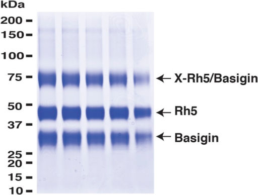 PfRh5 and human basigin form a 1:1 complex.PfRh5-C and basigin were cross-linked with EDC in the presence of NHS. The mixture was then analysed on a SDS-PAGE gel and the band of the crosslinked complex was excised for trypsin/chymotrypsin digestion followed by mass spectrometric analysis.DOI:http://dx.doi.org/10.7554/eLife.04187.005