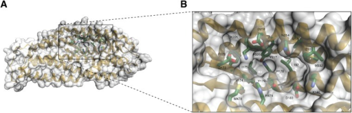 A unique pocket on the surface of the PfRh5 molecule.(A) Location of the pocket on the surface formed by the β-hairpin, the triple-helical bundle, and the triple-helical coiled coil. (B) Close-up view of the pocket; key residues lining the pocket are labeled.DOI:http://dx.doi.org/10.7554/eLife.04187.011