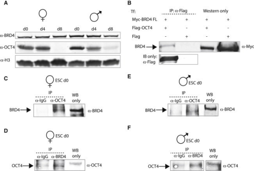 BRD4 Is Expressed in Differentiating Female and Male ESCs, Interacts with OCT4, and the Expression of Many Pluripotent Genes Rely on the BRD4 Protein Partner P-TEFb(A) Western blot analysis of BRD4 (top) and OCT4 (middle) in WT female and male ESCs whole cell extracts (WCEs) on differentiation d0, d4, and d8. Histone 3 (H3) (bottom) is used as a load control for protein expression.(B) HEK cells were co-transfected (Tf) with full-length Myc-tagged BRD4 and Flag-tagged OCT4. WCEs were immunoprecipitated (IP) with anti-Flag antibodies and western blot analysis with anti-Myc antibodies. The arrow denotes BRD4 binding OCT4 in the upper panel. The lower shows Flag-OCT4 expression detected by western blot.(C) Co-IP of BRD4 and OCT4 in ESCs. Immunoprecipitation with anti-OCT4 or control antibodies to test interaction with endogenous BRD4 in d0 female ESCs. Arrow marks BRD4 detected by anti-BRD4 western.(D) Reciprocal immunoprecipitation using anti-BRD4 or control antibodies to test interaction with OCT4 in female ESCs. Arrow marks OCT4 detected by anti-OCT4 western.(E) Endogenous BRD4 co-immunoprecipitates with endogenous OCT4 in d0 male ESCs. Arrow marks BRD4 following western with anti-BRD4.(F) Reciprocal immunoprecipitation using anti-BRD4 or control antibodies to test binding to OCT4 in male ESCs. Arrow marks OCT4 following anti-OCT4 western.