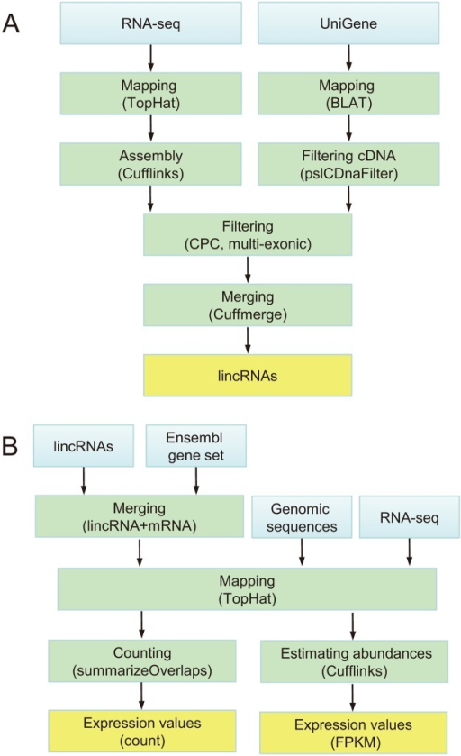 Identification of lincRNAs and calculation of expression levels.(A) Computational pipeline to identifying lincRNAs. (B) Pipeline of calculation of expression levels for protein-coding and lncRNA genes. Blue box: input data. Green box: processing. Orange box: outcomes.
