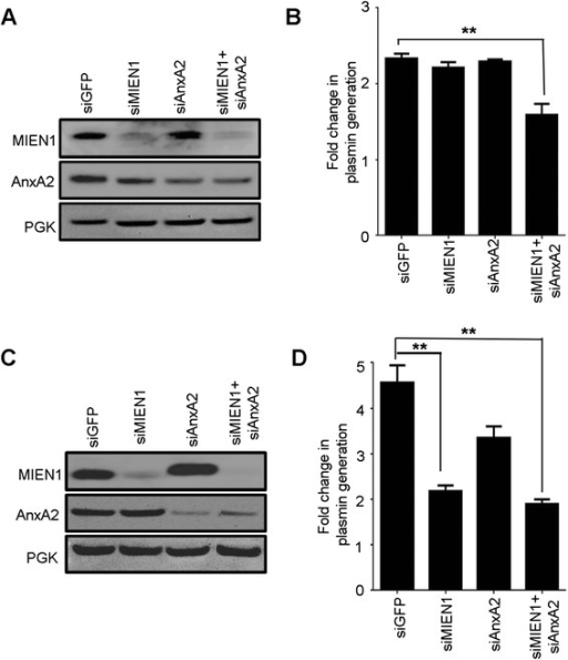 AnxA2 and MIEN1 silencing inhibit tPA dependent plasmin generation. Plasmin activity was determined at 460 nm using recombinant plasminogen, TPA and fluorogenic plasmin substrate D-VLK-AMC. Western blotting was performed to confirm depletion of MIEN1 and AnxA2 in HCC-70 (a) and MCF-7 (c) cells following siRNA knockdown. PGK served as a loading control. Total fold change in plasmin level in HCC-70 (b) and MCF-7 (d) cells was calculated by normalizing the initial rates of plasmin in untreated cells (which were assigned a value of 1). The data is presented as means ± s.d. (n = 6 for untreated controls and n = 6 for siRNA treatments)