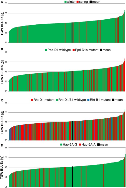 Phenotypic distribution of TGW BLUEs in 372 wheat varieties. The BLUEs of the TGW score were calculated across eight environments. TGW BLUEs were arranged according to the growth habit (A), to the distribution of the Ppd-D1 wildtype or Ppd-D1a mutant gene (B), the distribution of the mutant alleles of the dwarfing genes Rht-B1 and Rht-D1 (C) or the distribution of the haplotypes Hap-6A-G and Hap-6A-A of the TGW candidate gene TaGW2-6A (D).