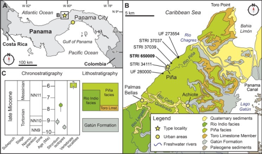 Locality and geology.Geographic and stratigraphic context of Isthminia panamensis. (A) Map of Central America with a yellow star representing the type locality, STRI locality 650009. (B) Map of north-central Panama with the distribution of the Chagres Formation, with type locality of Isthminia in the vicinity of Piña, along with other fossil vertebrates. (C) Chronostratigraphic and lithostratigraphic relationships of the Chagres Formation (modified from Hendy et al., in press, and Velez-Juarbe et al., 2015).