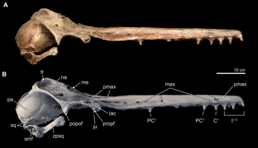 Skull in lateral view.Right lateral views of the type skull of Isthminia panamensis (USNM 546125) from (A) photographs and (B) orthogonal digital three-dimensional polygon model prepared from CT data, with lighting and color modifications using the Smithsonian X 3D browser. See http://3d.si.edu/explorer?s=jn4ynp to measure, modify, or download this model.