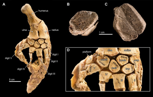 Carpal elements.(A) Complete, intact left pectoral limb of Inia geoffrensis (USNM 395602), showing all of the individual osteological elements in articulation. Carpal elements belonging to Isthminia panamensis (USNM 546125) include (B) a possible pisiform; and (C) a likely unciform, with (D) a close up of the carpal bones in (A), for comparison.