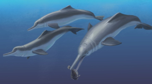 Reconstruction of Isthminia.Life reconstruction of Isthminia panamensis, feeding on a flatfish, which would have been abundant in the neritic zone of the late Miocene equatorial seas of Panama. Art by Julia Molnar.