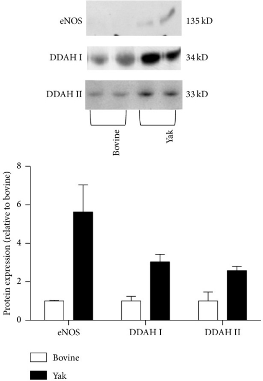 Western blot analysis of eNOS, DDAH I, and DDAH II protein in lungs from yaks and bovines. The photomicrograph shown is a representative image from the experiments, and the bar graph shows the density ratios of eNOS, DDAH I, and DDAH II protein bands relative to those from bovines. The eNOS, DDAH I, and DDAH II protein expression was apparently increased in lungs from yaks compared with those from bovines. Data are expressed as mean ± SD (n = 2).