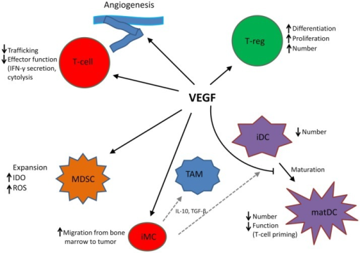 VEGF modulates the function of T cells, suppressive immune cells, and stroma in the tumor microenvironment, leading to an immunosuppressive state. MDSC, myeloid-derived suppressor cell; iDC, immature dendritic cell; matDC, mature dendritic cell; TAM, tumor-associated macrophage; T-reg, T-regulatory cell; iMC, immature myeloid cell; TAM, tumor-associated macrophage. Dotted gray lines indicate differentiation from iMC to TAM and iDC, respectively.
