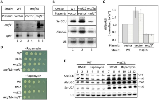 Maf1 is a rapamycin-sensitive regulator of RNAP III-mediated tRNA transcription in S. pombe.A) Northern blot probed for maf1+ mRNA in parent wild type (WT) strain, maf1Δ strain and maf1Δ in which maf1+ is over expressed from a multicopy plasmid. The rpl8+ mRNA serves as a loading control. Each sample was loaded in duplicate at 2X and 1X. B) Northern blot analysis of tRNASerGCU, tRNAAlaUGC and U5 snRNA loading control on the same blot from the three strains indicated above the lanes. C) Quantitation of the tRNAAlaUGC (white bar) and tRNASerGCU (grey) transcripts from three northern blots, including from panel B, using U5 snRNA on the same blots for calibration. Error bars indicate standard deviations of three experiments. D) Spot assay showing growth of S. pombe strains in minimal media (EMM) with or without rapamycin at 100 ng/ml. E) Northern blot comparing the tRNA transcripts indicated in WT and maf1Δ cells one hour after the addition of rapamycin or DMSO carrier alone to the liquid culture media.