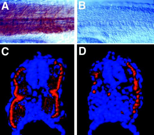 Inhibition of slow muscle  cells by a constitutively active isoform of PKA. (A) Whole-mount  Nomarski images showing slow  muscle cells labeled with the F59  antibody in a representative control  embryo. (B) Whole-mount Nomarski images showing slow muscle  cells labeled with the F59 antibody  in a representative embryo injected  with a constitutively active form of  PKA. (C) Section (dorsal to the  top) showing localization of slow  muscle cells labeled with F59 in a  control embryo. (D) Sections (dorsal to the top) showing local loss of  slow muscle cells in an embryo injected with a constitutively active  form of PKA.