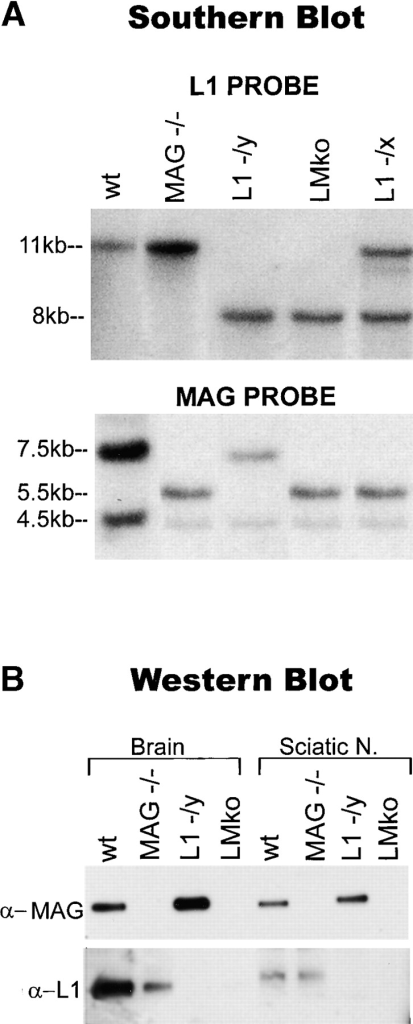 L1 and MAG gene expression in transgenic mice. (A) Southern blot analysis of MAG and L1-deficient mice. The L1 probe (upper panel) detected an 11-kb fragment in wild-type (wt) and MAG-deficient (MAG−/−) mice, and an 8-kb fragment in L1-deficient (L1 −/y) and L1/MAG-deficient (LMko) mice, (EcoR1 cut). The MAG probe (lower panel) detected a 7.5- and a 4.5-kb fragment in wild-type and L1-deficient mice, and a 5.5- and a 4.5-kb fragment in MAG- and L1/MAG-deficient mice (BamHI-HindIII cut). L1 heterozygous (L1 −/x)/MAG-deficient (−/−) females were used as breeders for the L1/MAG-deficient line and showed an 11- and 8-kb band when probed for L1, and a 5.5- and 4.5-kb band when probed for MAG. (B) Western blot analysis of CNS and PNS protein extracts from wild-type, MAG-deficient, L1-deficient, and MAG/L1-deficient mice. MAG antibodies detected a 100-kD band in wild-type and L1-deficient mice. MAG immunoreactivity was not detected in MAG- or L1/MAG-deficient mice. L1 antibodies detected a 200-kD band in wild-type and MAG-deficient mice. L1 immunoreactivity was not detected in L1- or L1/MAG-deficient mice.