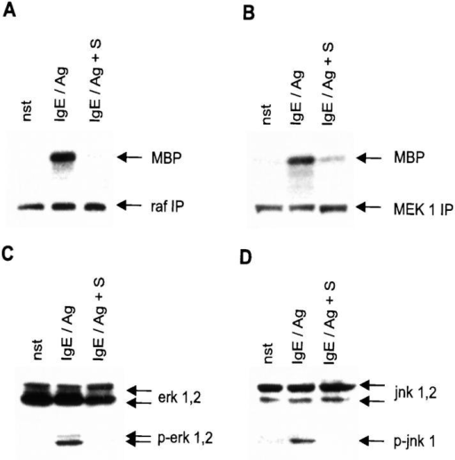 S inhibits the MAPK pathways. Cells were either left unstimulated (nst) or were pretreated with solvent before activation with IgE/Ag (IgE/Ag) or pretreated with S (IgE/Ag + S) for 1 h before activation with IgE/Ag. (A) Raf kinase activity was determined after immunoprecipitations. MBP was used as substrate (indicated by an arrow). Reactions were separated by SDS-PAGE. Western blots of the immunoprecipitate for normalization are shown below (raf IP, indicated by an arrow). (B) MEK 1 activity was determined after immunoprecipitations. MBP was used as a substrate (indicated by an arrow). Reactions were separated by SDS-PAGE. Western blots of the immunoprecipitate for normalization are shown below (MEK 1 IP, indicated by an arrow) (C) Western blots to investigate erk 1,2 activation/phosphorylation. Cells were activated for 10 min. erk 1,2 and phospho-erk 1,2 are indicated by arrows (right). (D) Western blots for jnk 1,2 activation/phosphorylation. Cells were stimulated for 10 min. jnk 1,2 and phospho-jnk 1 are indicated by arrows (right).