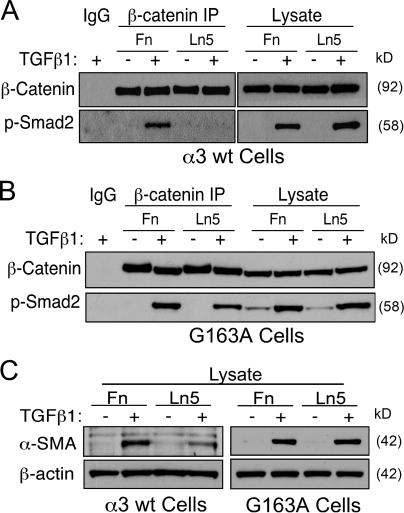 Regulation of β-catenin–p-Smad2 complex formation by extracellular matrices. (A) α3β1 engagement on Ln5 limits the formation of β-catenin–p-Smad2 complex formation. Lysates of TGF-β1–stimulated α3 wt cells from either Fn- or Ln5-coated plates were subject to β-catenin IP followed by p-Smad2 immunoblotting. The β-catenin–p-Smad2 complex formation is only seen with cells plated on Fn and not with Ln5. (B) Ln5 does not limit formation of β-catenin–p-Smad2 complexes in cells unable to engage Ln5 through α3β1 (G163A mutant cells). Lysates of TGF-β1–stimulated G163A mutant cells from either Fn- or Ln5-coated plates were subjected to β-catenin IP followed by p-Smad2 immunoblotting. The β-catenin–p-Smad2 complex formation is seen with cells plated on both Fn and Ln5. (C) α3β1 engagement on Ln5 suppresses TGF-β1–induced α-SMA up-regulation. Up-regulation of α-SMA is suppressed in α3 wt cells plated on Ln5 but not in G163A mutant cells on Ln5. The aforementioned experiments have been performed three times with similar results.