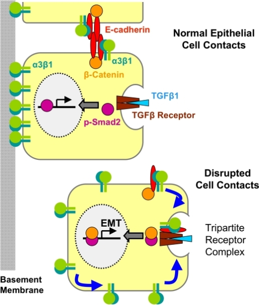 Model of TGF-β1 signaling. The schematic illustration summarizes the influence of α3β1 on TGF-β1 signaling as a function of cell–cell and cell–matrix contacts. For details see the Discussion.