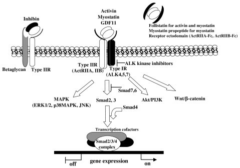 Signal transduction through activin receptors. Activin, myostatin and GDF11 signal through type II and type I serine/threonine kinase receptors. Type IIR is the principal ligand binding receptors, and ligand/typeIIR complexes recruit and associate with type IR. Type IR is phosphorylated and activated by type IIR kinase. Smad2 and 3, activin/TGF-β specific Smads, are phosphorylated by activated type IR. In the nucleus, Smad2/3/4 complexes regulate gene expression with additional transcriptional cofactors. Smad-independent pathway such as MAPK is also activated downstream of activin receptors. Inhibin acts antagonistic to activin by forming high affinity complexes with ActRII and betaglycan. Follistatin, myostatin propeptide and receptor ectodomain inhibit the activities of activin and related factors in the extracellular space to prevent ligand/receptor interaction. Chemical type IR kinase inhibitors act in the cell to disrupt receptor/intracellular signaling.
