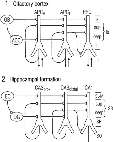 "Comparison between the microcircuit organization of olfactory cortex and hippocampus. ""Note the parallels in both the horizontal dimension (connections between subdivisions) and the vertical dimension (laminar organization of fiber systems according to their areas of origin."" Abbreviations: (1) OB, olfactory bulb; AOC, anterior olfactory cortex; APCV, ventral anterior piriform cortex; APCD, dorsal anterior piriform cortex; PPC, posterior piriform cortex; sup, superficial. (2) EC, entorhinal cortex; DG, dentate gyrus; prox, proximal; dist, distal; SL-M, stratum lacunosum-moleculare; SR, stratum radiatum; sup, superior; SP, stratum pyramidale; SO, stratum oriens. From Neville and Haberly (2004)."