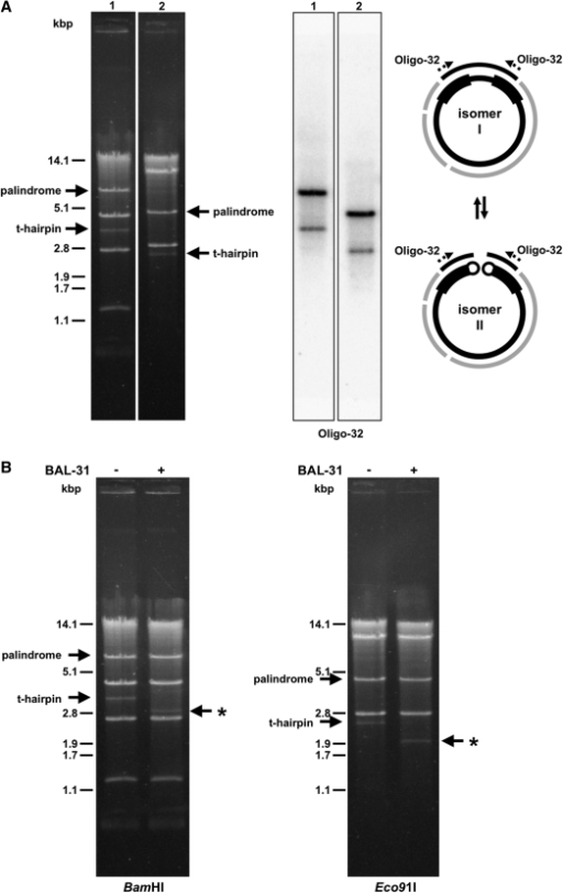 Circular- and linear-mapping genome isomers in mitochondria of C. viswanathii. (A) The mtDNA samples were digested with BamHI (lane 1) or Eco91I (lane 2) and separated in 1% (w/v) agarose gel. The Southern blot was hybridized with radioactively labeled oligonucleotide probe Oligo-32 derived from the large palindrome (shown as dashed arrows). The solid arrows show positions of the palindrome and the presumed terminal fragments of resolved linear molecules capped with t-hairpins. Scheme shows presumed circular- (I) and linear-mapping (II) genome isomers. (B) Isolated mtDNA was treated or untreated with BAL-31 nuclease (0.2 U for 5 min). The mtDNA was then extracted from the reaction, digested with BamHI or Eco91I endonuclease, and electrophoretically separated. Note that the fragments containing presumed t-hairpins were sensitive to BAL-31 nuclease (indicated by asterisk).