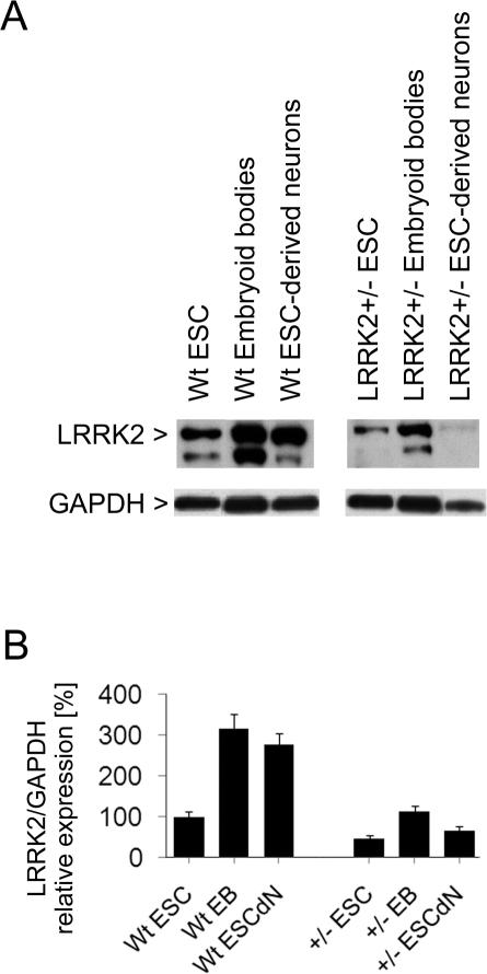 Western blot analysis of LRRK2 protein levels in cell lysates.(A) LRRK2 (and one fragment) is expressed in cultured mouse embronic stem cells (ESC), and its expression increases during retinoic acid-induced neuronal differentiation. LRRK2 levels in LRRK2+/− cells are about 50% lower than in wildtype (wt) cells. Levels of glyceraldehyde 3-phosphate dehydrogenase (GAPDH) were co-detected as gel loading controls and indicate that lower protein amounts were loaded in the LRRK2+/− ESC-derived neuron sample. The immunoblots shown are representative of three independent experiments. (B) Full-length LRRK2 protein bands were quantified by densitometry and normalized to GAPDH loading control using Quantity One software. Bars represent mean ± SD (n = 3).