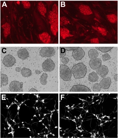 Immunocytochemical and morphological analysis of LRRK2+/− (right panels) and wildtype (left panels) ES cells during neuronal differentiation.(A, B) Undifferentiated ES cells on fibroblast feeders are immunoreactive for the pluripotency marker stage-specific embryonic antigen-1. (C, D) Embryoid bodies grown in suspension culture show similar morphology. (E, F) At differentiation day 7, ES cell-derived neurons immunostained for β-III tubulin exhibit similar cell densities and neurite networks.